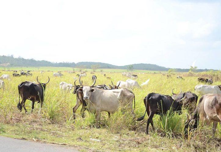 El sector ganadero requiere más atención sino peligra su actividad.(Juan Rodríguez/SIPSE)