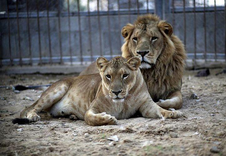 Las autoridades de Buenos Aires prohibieron desde 1998 acercamiento del público a los animales salvajes en los zoológicos de la provincia. (EFE/Archivo)