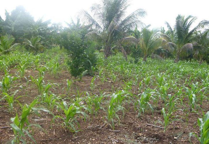 Los plantíos de maíz están pequeños y tiernos. (Raúl Balam/SIPSE)