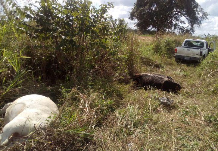 Debido al percance, dos de las cuatro vacas atropelladas murieron en el lugar. (Foto: Redacción/SIPSE)