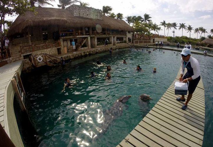 La cadena de delfinarios cuenta con un programa de reproducción de esta especie en cautiverio. (Gonzalo Zapata/SIPSE)