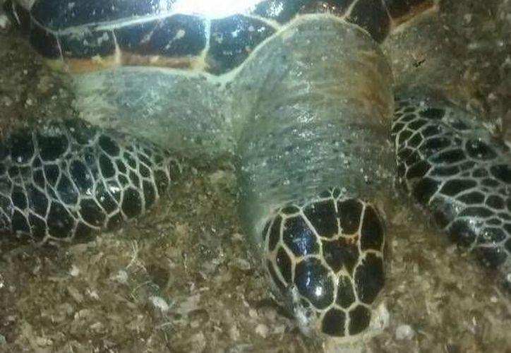 Esta es la tortuga de Carey que fue hallada esta vez en playas de Progreso. (SIPSE)