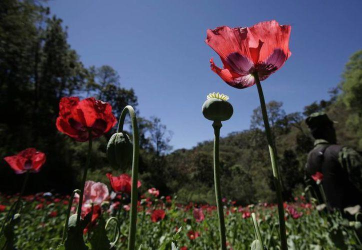 Las Fuerzas Armadas con frecuencia erradican plantíos de droga. En la imagen, soldados destruyen un plantío de amapola en Michoacán, el 4 de marzo de 2010. (AP)