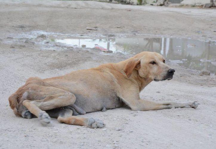 Los canes que son abandonados, maltratados o que deambulan por las calles, son llevados al refugio. (Victoria Gonzázlez/SIPSE)