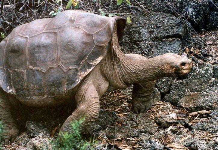 """Imagen facilitada por la publicación """"Current Biology"""" de la tortuga gigante conocida como """"El solitario George"""", muerta hace un año, en el Parque Nacional Galápagos en Santa Cruz en las islas Galápago, Ecuador. (Archivo/EFE)"""