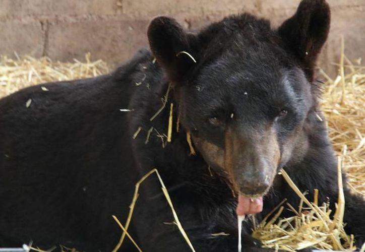 """El oso Invictus pertenecía al espectáculo ambulante """"Harley Circus"""". (Foto: MIlenio Novedades)"""