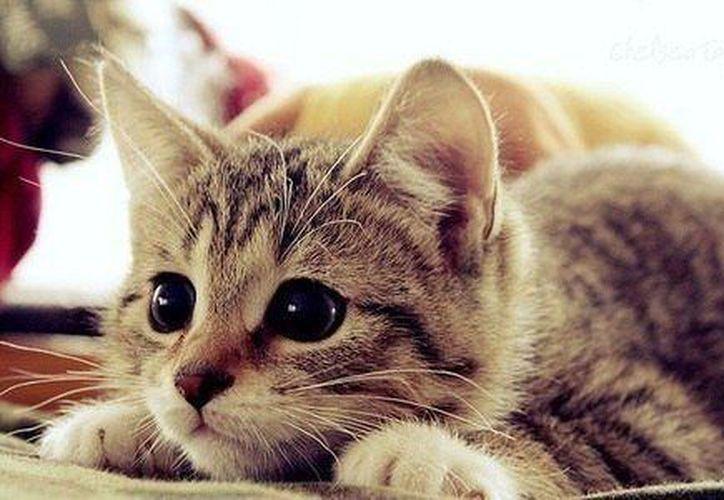 Las gatas que son mamás ronronean para llevar a sus gatitos. (Contexto/Internet).