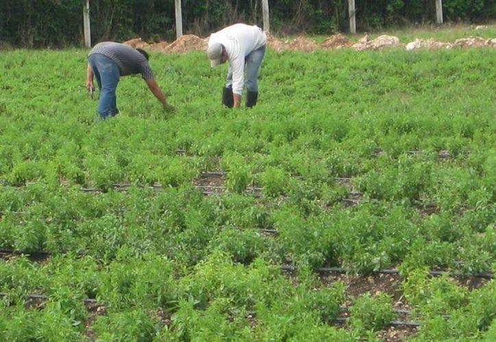 Los productores de coco, piña y chico zapote han entregado sus solicitudes. (Javier Ortiz/SIPSE)