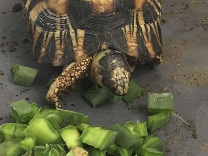 A critically endangered radiated tortoise is recovering from capture.