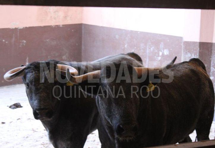 Los toros que lidiará Pablo Hermoso de Mendoza llegaron ayer en Cancún. (Israel Leal/SIPSE)