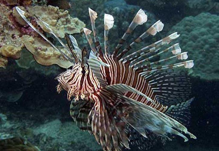 El pez león ya forma parte de las opciones gastronómicas que se ofertan en Cozumel y Playa del Carmen.  (Notimex)