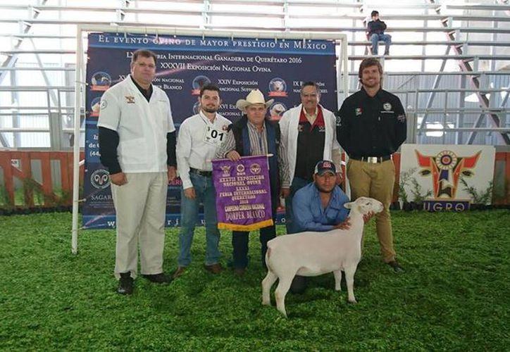 Un ejemplar ovino de un rancho en Sucilá, Yucatán, ganó el primer lugar en el Campeonato Nacional Cordera, dentro de la Feria Internacional Ganadera de Querétaro. (Foto cortesía de Fundación Yucatán Produce)