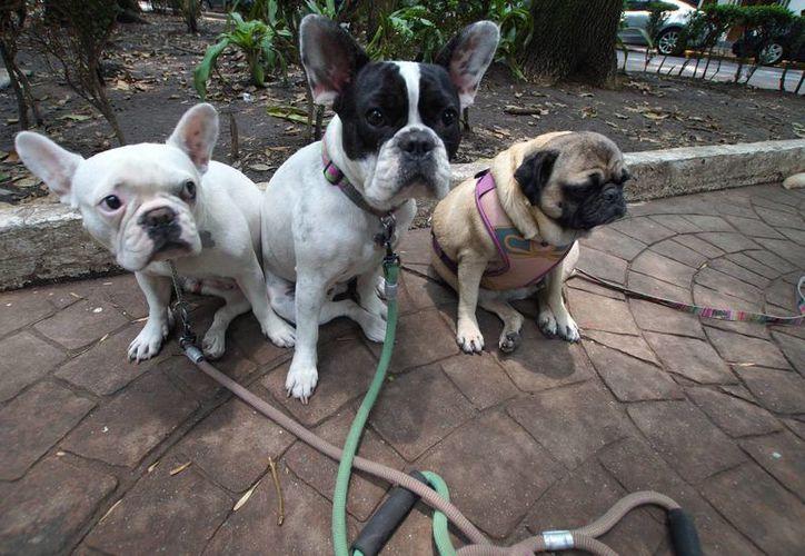 Con la creación del Instituto de Atención Animal se busca fomentar la protección a los animales, así como de tenencia responsable. En la imagen, tres canes en un parque de la ciudad de México. (Archivo/Notimex)