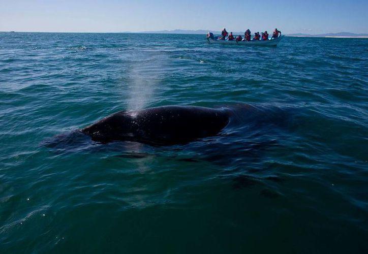Una ballena gris embistió una embarcación de turistas en Los Cabos, Baja California Sur. Una turista canadiense falleció. La imagen es de contexto. (AP/Archivo)
