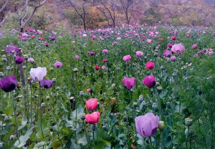 En España, campos fértiles producen la amapola, y no la silvestre, sino otra de la que se obtiene el opio destinado a la fabricación de morfina. Imagen de contexto. (Archivo/Notimex)
