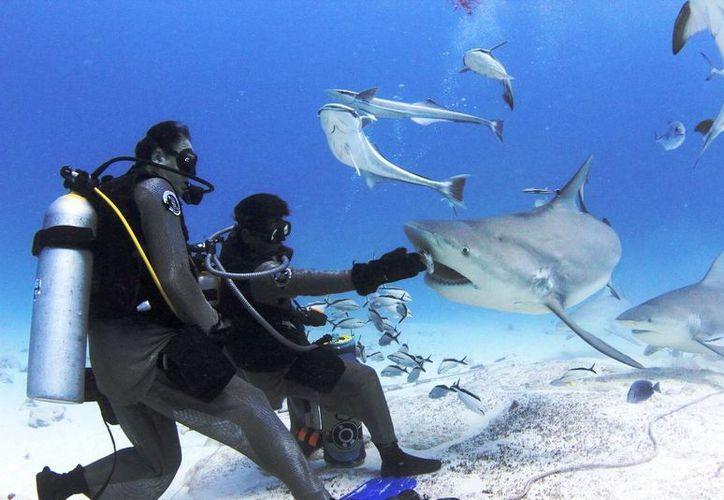 Ejemplares de tiburón toro se han vuelto a acercar a las costas de Playa del Carmen. (Cortesía)