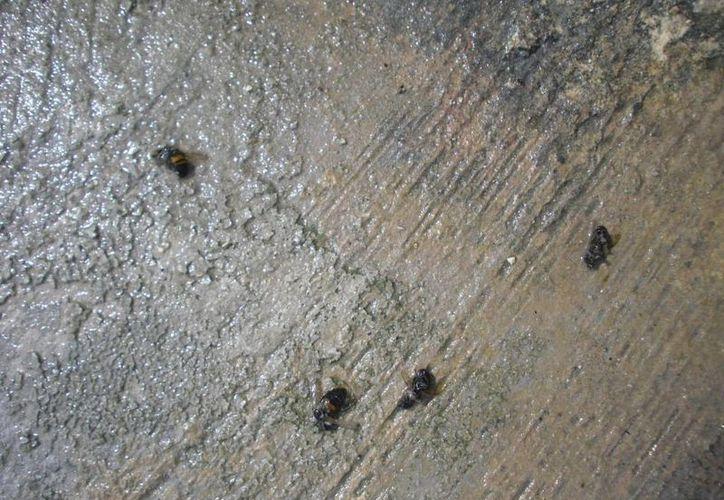 Se han registrado indicios de la presencia de la abeja africana en territorio quintanarroense. (Archivo/SIPSE)