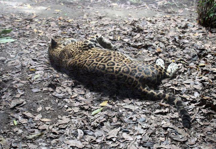 Un total de 27 animales desaparecidos no han sido documentados como fallecidos. (Ernesto Neveu/SIPSE)