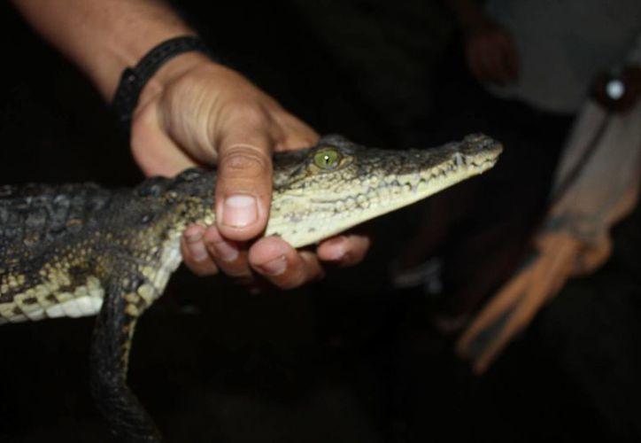 El reptil medía 50 cm de longitud, surgió de las alcantarillas que rebosaron por las lluvias.(Redacción/SIPSE)