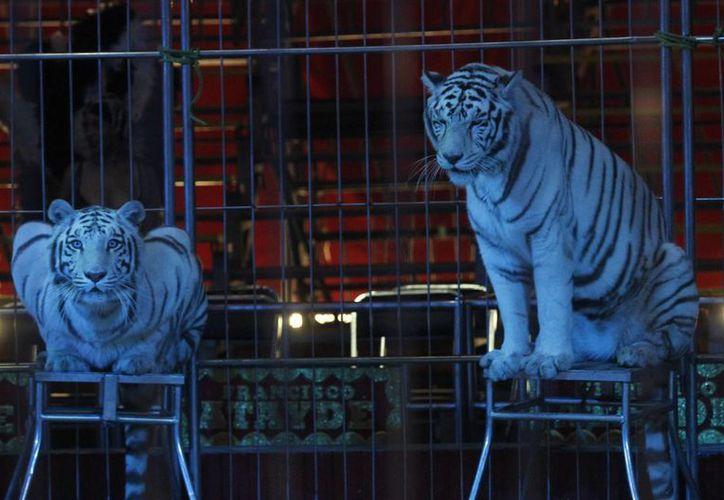 Quienes no cumplan con la ley sobre uso de animales en los circos serán multados por las autoridades. Imagen de contexto de dos felinos en una carpa del Circo Atayde. (Archivo/Notimex)