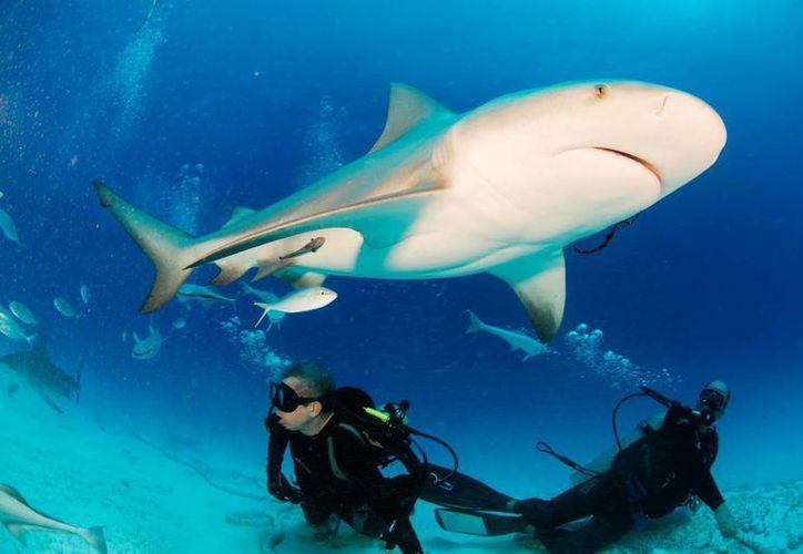 Los turistas pueden observar de cerca cómo se alimenta el tiburón toro. (Redacción/SIPSE)