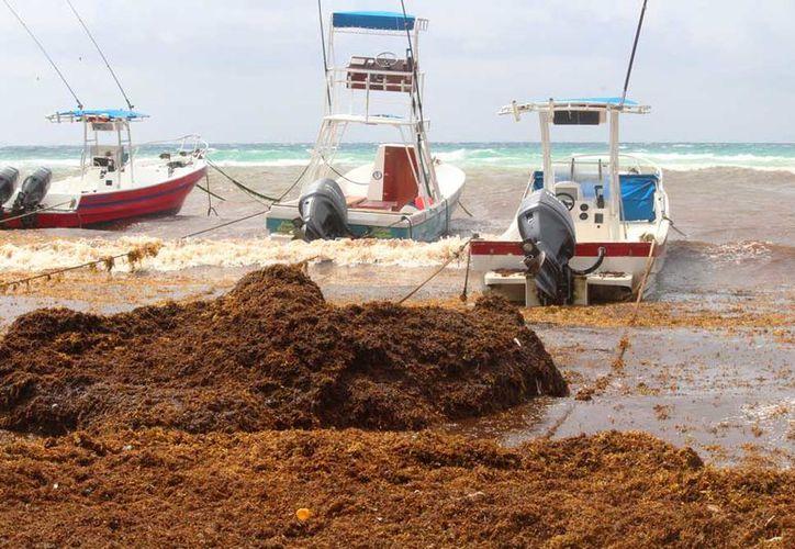 Trabajadores de limpieza de la playa informaron que desde que comenzó el mal tiempo, el sargazo ha intensificado su recale. (Octavio Martínez/SIPSE).