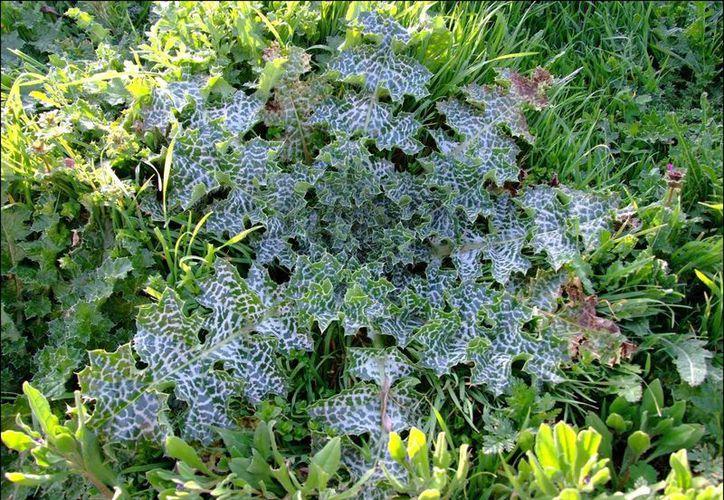 El Cardo mariano (Silybum marianum) es muy útil para proteger al hígado. (floradeiberia.com)
