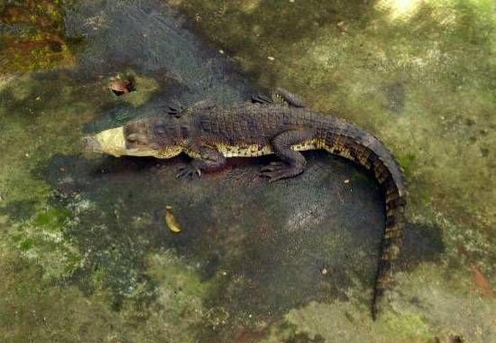 El cocodrilo fue encontrado por unos niños que jugaban en la zona. (Milenio Novedades)
