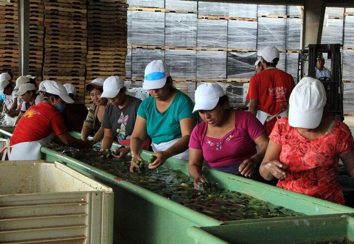 Compañía Agrícola Valle del Sur emplea a habitantes del sur de Yucatán. (SIPSE)