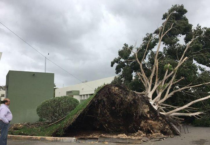 Uno de los árboles derribados en Mérida a causa de la turbonada de esta tarde. (Imágenes: Milenio Novedades)