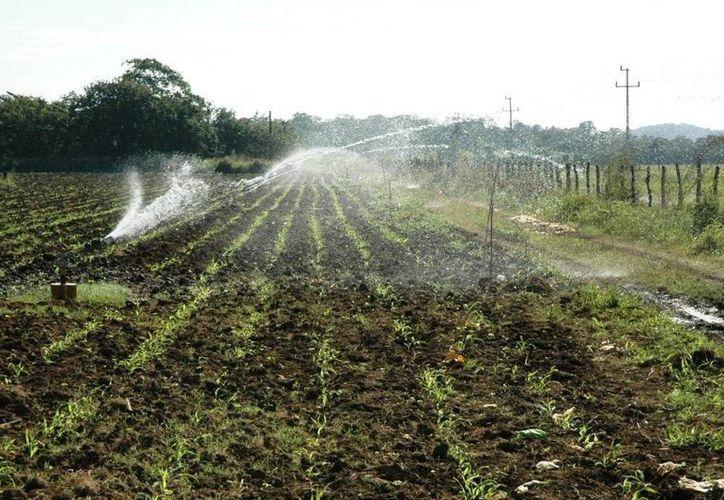 El programa de Tecnificación de Riego, recibió una aportación de 11 millones 115 mil pesos, que beneficiarán a 26 agricultores. (Edgardo Rodríguez/SIPSE)