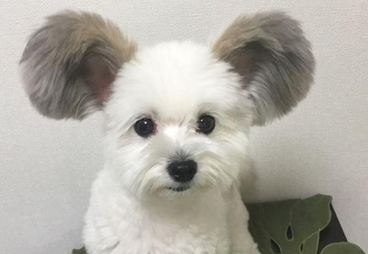 """El enternecedor perrito ya ha sido apodado el """"perro Mickey Mouse"""". (Instagram)"""