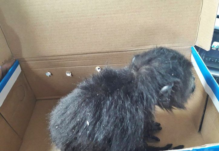 El animal corría peligro en el patio del domicilio. (Redacción/SIPSE)