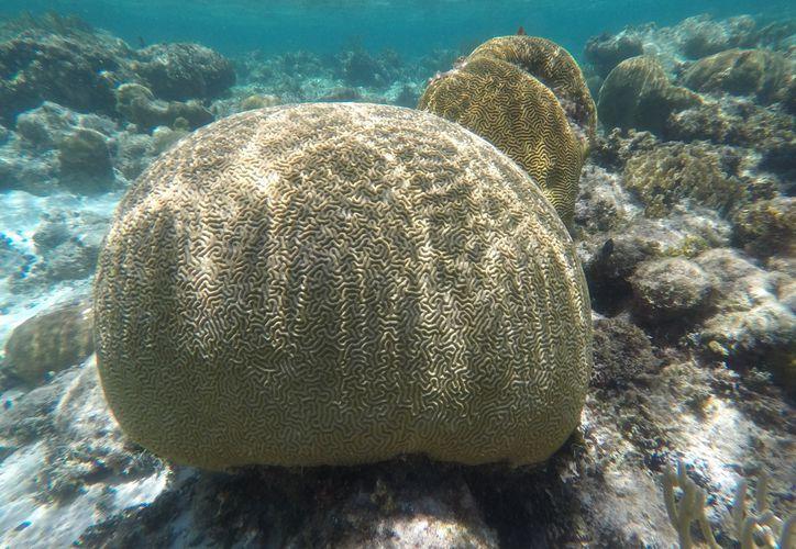 A través de una estrategia piloto se busca involucrar a turistas en el monitoreo de la salud de los corales. (Paola Chiomante/SIPSE)