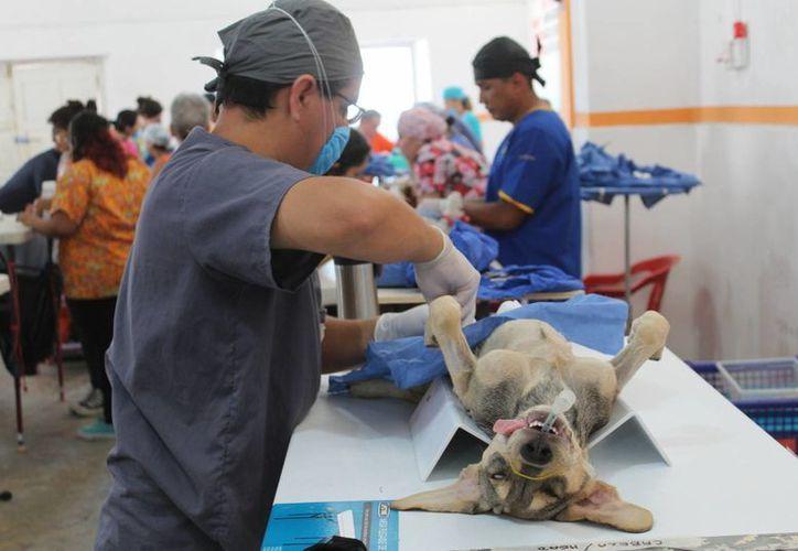 Para realizar la campaña de esterilización a las mascotas se cuenta con un total de más de 200 voluntarios.(Gerardo Keb/Milenio Novedades)