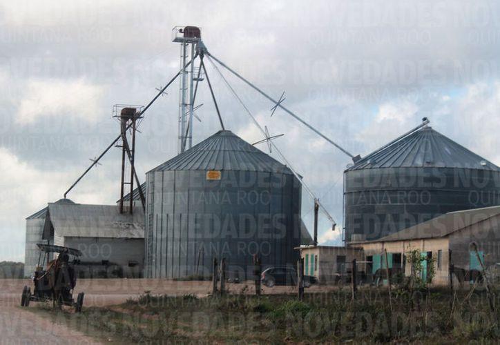 En 2017, se cultivaron en el municipio de Bacalar dos mil 850 hectáreas de soya. (Javier Solis/SIPSE)