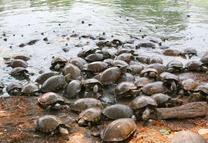 El decomiso de unos 1,000 huevos de tortuga en Guerrero evitó un delito, pero también el nacimiento de varios ejemplares de una especie considerada en peligro de extinción. (Archivo/NTX)