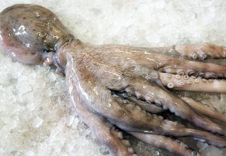 La captura de pulpo maya concluye el próximo 15 de diciembre. (SIPSE)