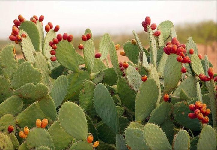 El nopal es uno de los alimentos que incluye está dieta. (MXCity).