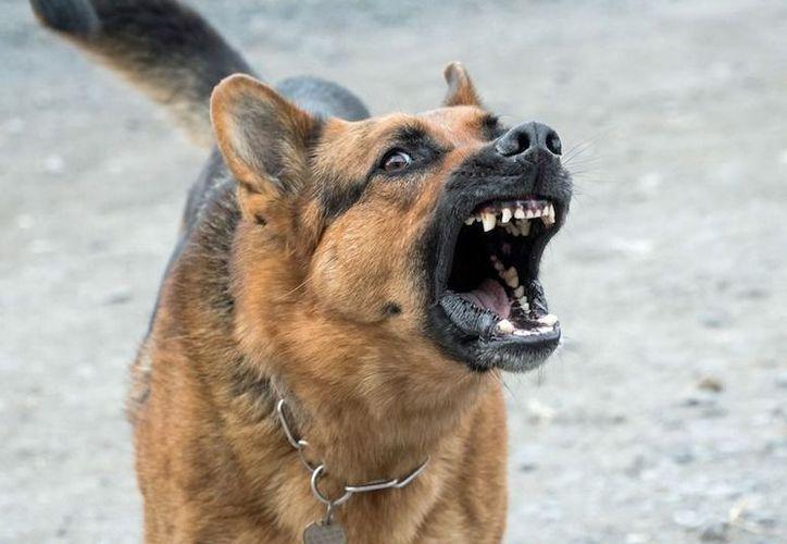 Un perro pastor alemán atacó a tres personas en Hidalgo. (Contexto/Internet).