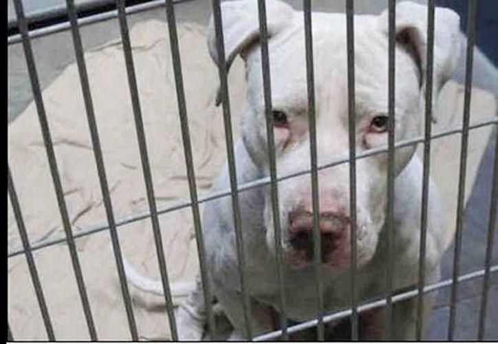 En menos de un mes se han registrado dos ataques mortales de perros de raza pitbull en Florida. (Archivo/SIPSE)