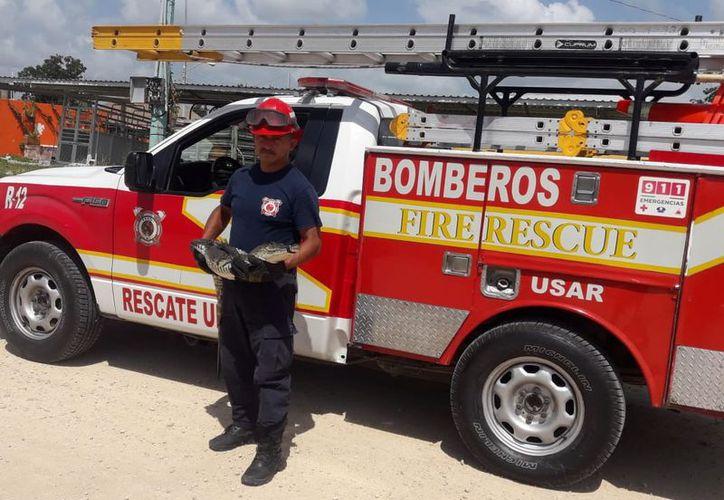 El reptil de metro y medio de longitud, fue capturado la mañana de ayer por los bomberos, quienes lo llevaron a su hábitat. (Redacción/SIPSE)