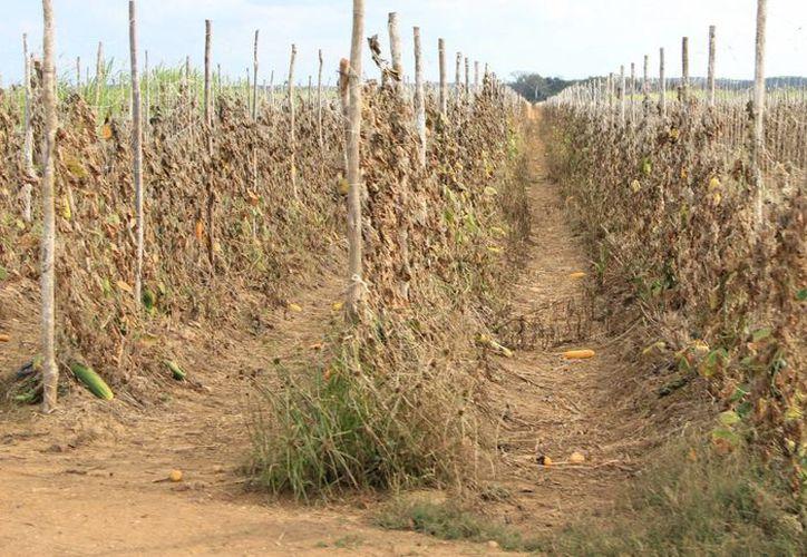 Tras el periodo llamado canícula (una larga sequía), en la segunda mitad de agosto ha comenzado a llover con regularidad en Yucatán.