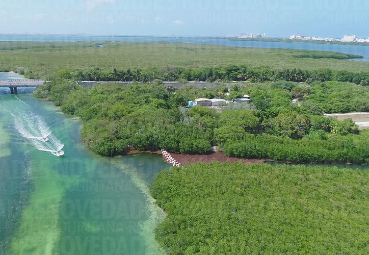 el sargazo que está cruzando hacia la laguna podría afectar el manglar en caso de que se acumule en mayor cantidad, por lo que es necesario limpiar la zona como se está haciendo de forma diaria en el mar. (Paola Chiomante/SIPSE)