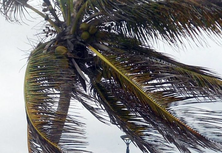 En Jamaica y Guyana las palmeras están muy afectadas debido al amarillamiento letal. (Milenio Novedades)