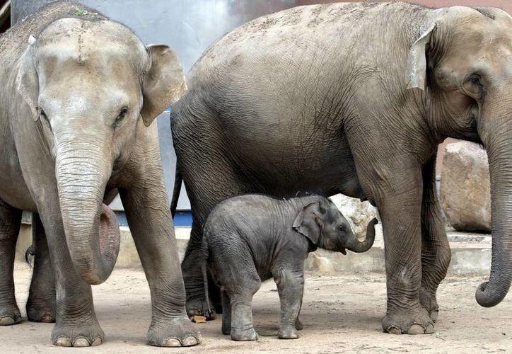 Durante siglos, la gente ha observado que los elefantes parecen ser animales muy inteligentes y empáticos. (Archivo/EFE)