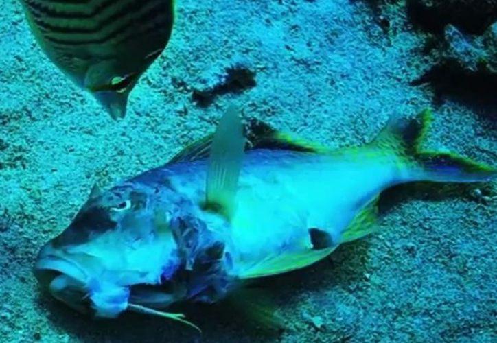 A fin de evitar la extinción de peces de agua dulce, expertos de la UNAM preparan la estrategia nacional para la conservación de estas especies. (Excelsior)