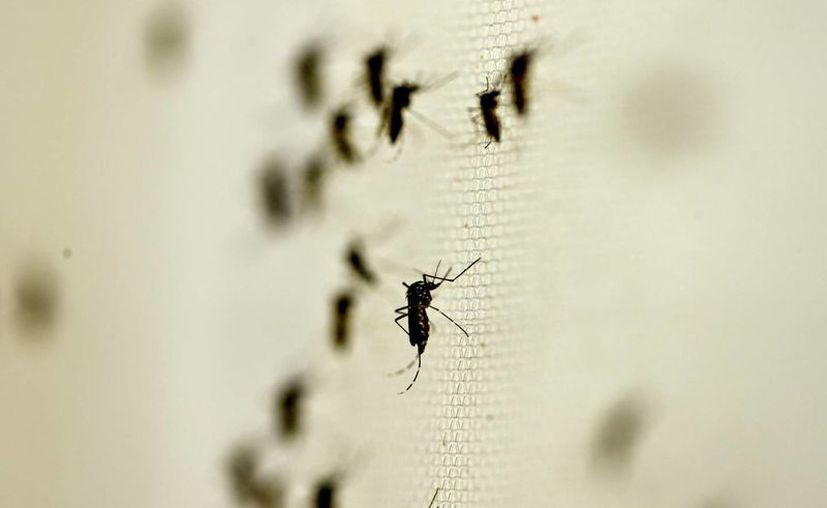 Científicos brasileños impulsan un programa de producción genética de mosquitos portadores de una bacteria capaz de anular la transmisión del virus del dengue. (Archivo/Notimex)