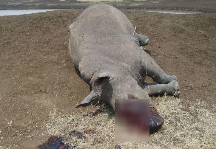 Veintinueve rinocerontes fueron muertos en cazas furtivas en Kenia el año pasado. (Agencias)