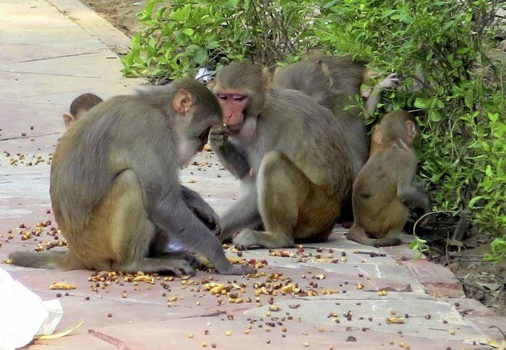 En un principio se consideró vestir a personas como monos para ahuyentar a los primates que invaden el centro de Nueva Delhi, pero la idea fue rechazada porque los simios atacaban. (EFE)